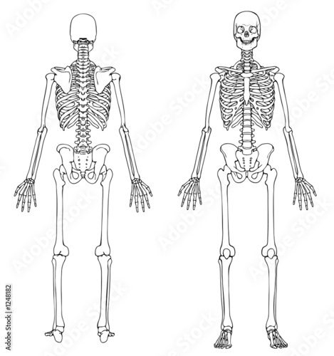 human skeleton front and back\