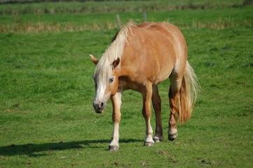 pferd mit blonder mähne