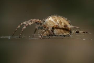 garden orb webb spider