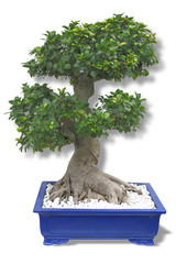 bonsai queen