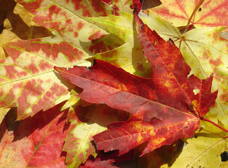 fire red maple leaf