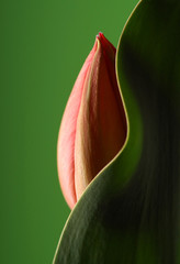 tulip with curved leaf and green background