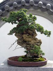 chinise bonsai tree