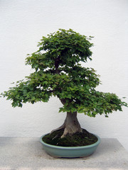bonsai maple tree