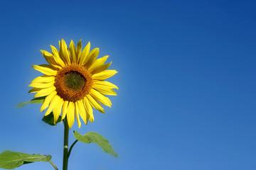 herrliche sonnenblume