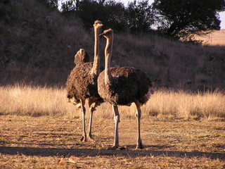 a pair of ostriches