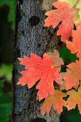 red maple leaves autumn
