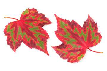 beautiful maple leaf