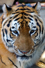 close up of tiger head