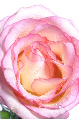 a pink rose against a white background