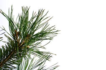 twig of pine tree