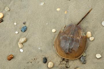 horseshoe crab in sand