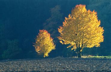 Photo sur Plexiglas Bleu nuit Herbst, zwei Bäume mit Herbstfärbung, Gegenlicht, Copyspace