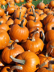 close up pumpkin patch