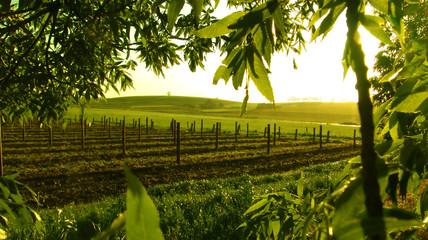 Fototapete - framed vineyard