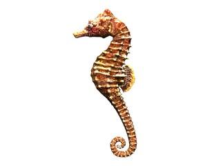 hippocampe 3d sea horse