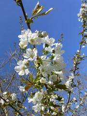 cherr blossom   10346