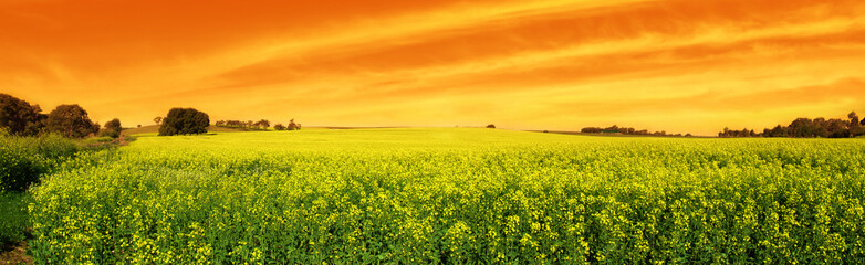 Wall Mural - canola sunset panoramic