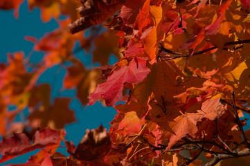 maple leafes on a cyan sky