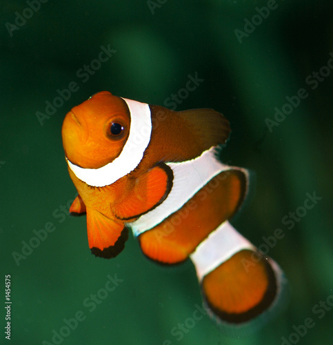 Poisson clown orange et blanc photo libre de droits sur for Poisson clown achat