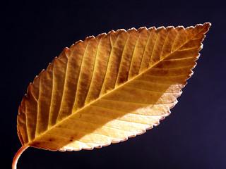 study of a leaf