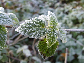 frost in the green leaf