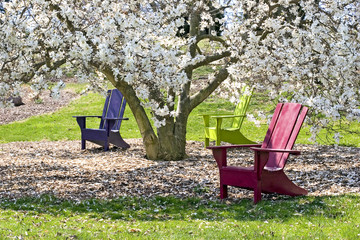 adirondaks and magnolia tree