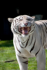 white tiger showing his fangs
