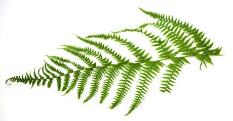 leaf 36