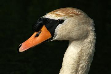 Poster Swan mute swan