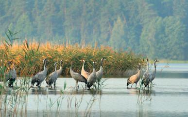 cranes(grus grus)
