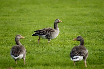 geese on grass field