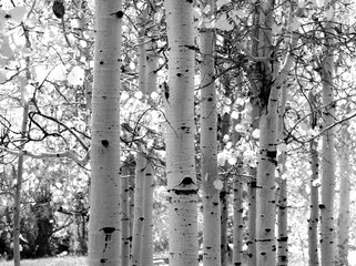 Garden Poster Birch Grove black and white image of aspen trees