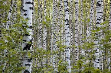 Spoed Foto op Canvas Berkbosje grove