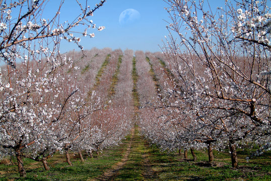 almond trees landscape