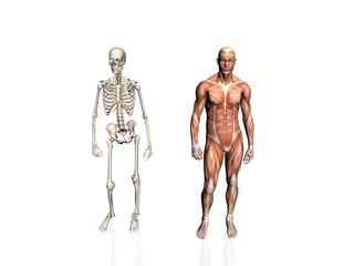 anatomy of the man with skeleton..