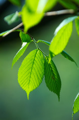 bright green leafs of young birch