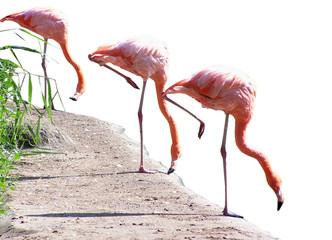 three pink flamingos