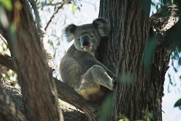 koala in the suburbs
