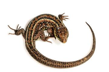 twirled lizard