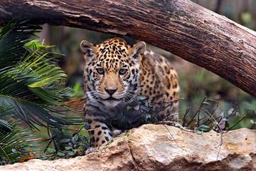 Aluminium Prints Leopard ready to pounce