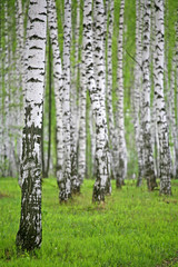 Aluminium Prints Birch Grove birch wood