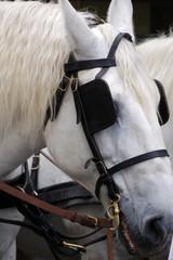 cheval d'attelage