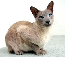 siamese cats sits and relaxes