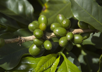 green coffee beans on a stem