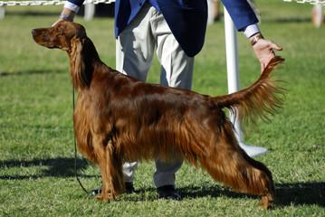 irish setter at dog show