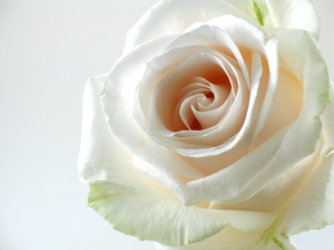 white rose on white background