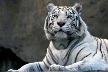 bengali tiger in zoo