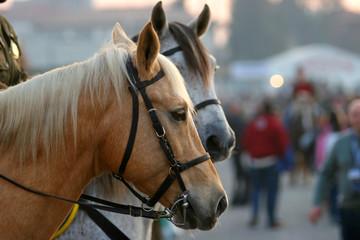urban horses