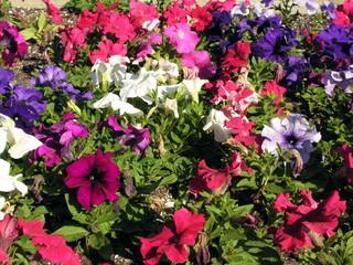 pansies and petunias